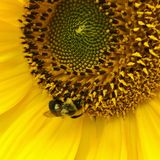 Bumblebee Sunflower Stock Images