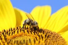 Bumblebee on a sunflower Stock Photos