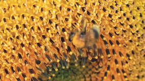 Bumblebee and Sunflower Stock Photography
