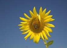 Bumblebee on Sunflower Stock Photography