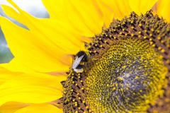 A bumblebee on a sunshine Royalty Free Stock Images