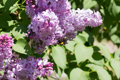 Bumblebee on Syringa Flowers Stock Image