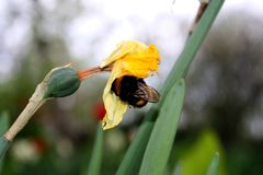 Bumblebee szuka na s?onecznym dniu fotografia stock
