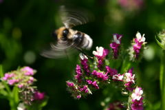 Bumblebee takeoff and flight Royalty Free Stock Images