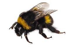 Bumblebee terrestris Bombus ειδών Στοκ εικόνα με δικαίωμα ελεύθερης χρήσης