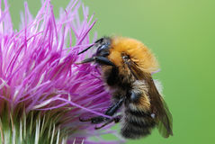 Bumblebee on the thistle Royalty Free Stock Images