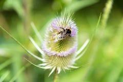 Bumblebee with thistle Stock Image