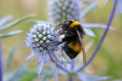 Bumblebee on a thistle Royalty Free Stock Photos