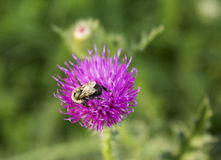 Bumblebee on a Thistle. Royalty Free Stock Photos