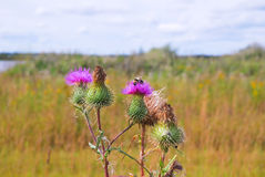 Bumblebee on Thistle flower Royalty Free Stock Photography