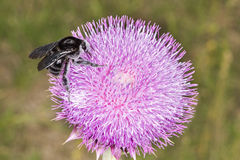 Bumblebee on Thistle Flower 02. A black bumblebee (Bombus atratus) is feeding and pollinating a thistle flower, it collects nectar, while pollen collects on its Stock Illustration