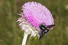 Bumblebee on Thistle Flower 01 royalty free stock images