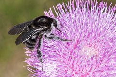 Bumblebee on Thistle Flower 04 Royalty Free Stock Photo