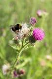 Bumblebee on thistle flower (Carduus crispus) Stock Images