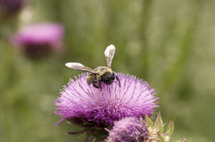 Bumblebee on Thistle Flower Stock Photos