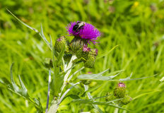 Bumblebee on a thistle flower Royalty Free Stock Photos