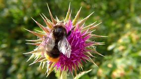 Bumblebee on thistle flower in summer. In Germany stock video