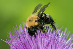 Bumblebee on Thistle Stock Photography