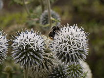 Bumblebee on thistle Stock Photos