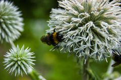 Bumblebee on the thorn. Macro shooting royalty free stock photos