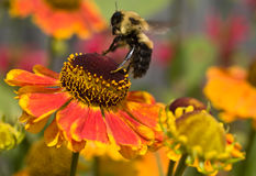 Bumblebee about to land on a flower. Bumblebee landing on a zinnia Stock Photography