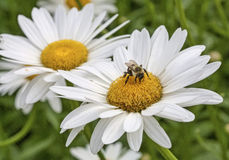 Bumblebee with two daisies. A bumblebee (bombus) rests on the closer of two shasta daisies (Leucanthemum superbum Stock Photography