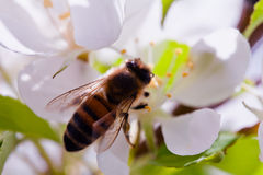 Bumblebee Up Close. A macro shot if a bumblebee collecting nectar from an apple blossom Royalty Free Stock Photography