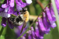 Bumblebee On A Vetch Royalty Free Stock Images