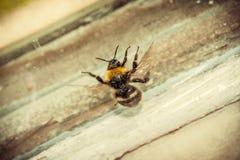 Bumblebee Stock Photography
