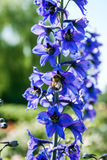 Bumblebee on a violet field flower in search of something tasty. Close up royalty free stock images