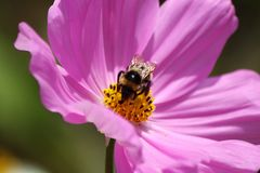 Bumblebee on a violet flower Royalty Free Stock Photo