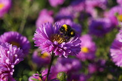 Bumblebee on violet flower. A Bumblebee on a violet flower Royalty Free Stock Images