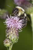Bumblebee visiting a purple swamp thistle flower in Connecticut. Bumblebee, Bombus sp., visiting a swamp thistle flower in the Donnelly Preserve, South Windsor royalty free stock photography