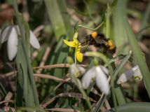 A bumblebee visiting a yellow flower in spring. Forest Stock Photo