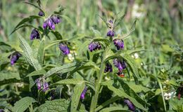 Bumblebee visits the purple flowers of the common comfrey plant. Comfrey is used in folk medicine as an alternative medicine for various diseases. However Royalty Free Stock Images