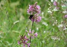 Bumblebee w łące Zdjęcia Stock