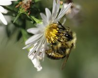 Bumblebee w światło Coloured Fllowers zdjęcia stock