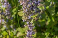 Bumblebee w locie Fotografia Stock