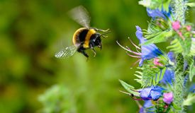 Bumblebee w locie zdjęcie stock