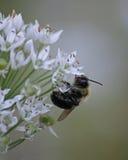Bumblebee w profilu Zdjęcia Stock
