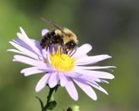 Bumblebee w świetle - purpura kwiaty fotografia royalty free
