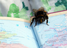 A  bumblebee wants travel Royalty Free Stock Photos