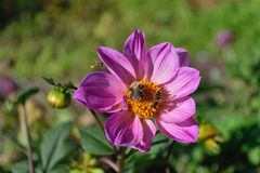 Bumblebee and wasp on a flower  large purple Dahlia Royalty Free Stock Photography