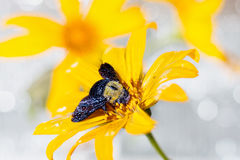 Bumblebee Wet on the yellow flower. Close up Bumblebee Wet on the yellow flower Royalty Free Stock Photography