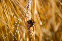 Bumblebee on wheat thorns Royalty Free Stock Photo
