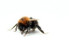 Bumblebee. On a white background Royalty Free Stock Photos