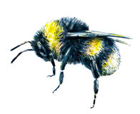 Bumblebee on a white background. Watercolor drawing. Insects art. Handwork. Side view Stock Photos