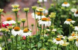 Bumblebee on white echinacea Royalty Free Stock Image