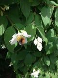 Bumblebee on a white flower. On bush Royalty Free Stock Photos