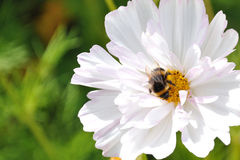 Bumblebee on white flower. Gathering nectar and pollen Royalty Free Stock Photos